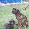 Petfinder Adoptable Dog | Mastiff | Inverness, FL | Daisy Duke