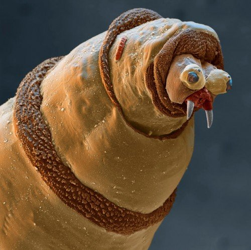 maggot under microscope