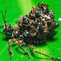 Assassin Bug Wears Its Victims' Corpses as Armor