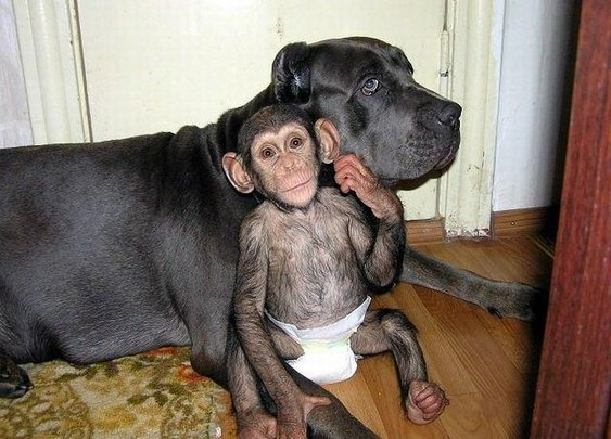 Great Story of a Chimpanzee Adopted By a Mastiff