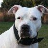 BIN: Bullies In Need - Dog Rescue Ontario