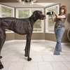 Great Dane Zeus sets new Guinness World Record as the world's tallest living dog
