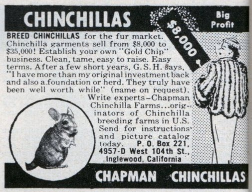 Breed Chinchillas, Big Profit
