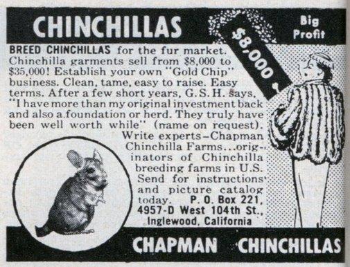Breed Chinchillas, Big Profit