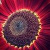 Norfolk / Sunflower