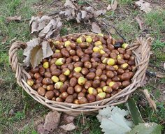 How to Eat Acorns: The Ultimate Survival Food | Outdoor Life Survival