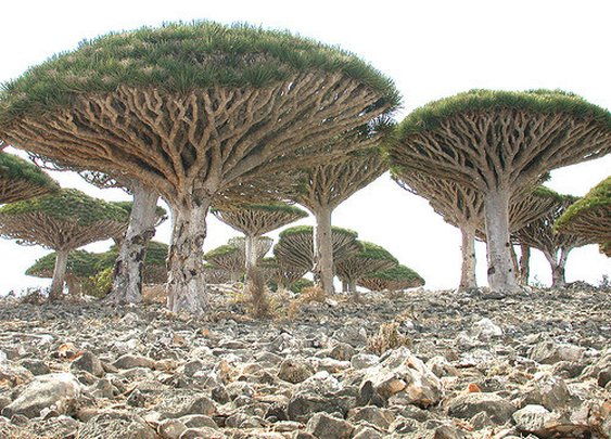 Rare Succulent  Dorstenia gigas The Socotran by acorndesignsource
