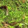World's Deadliest - Stoat Hypnotizes Rabbit