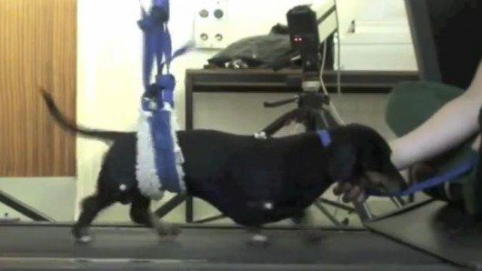 Nose cell transplants allow paralyzed dogs to walk again