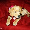 Christmas Puppy « 123 Fotography