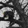 Bald Eagle in Haines, Alaska « 123 Fotogяaphy