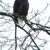 Bald Eagle « 123 Fotogяaphy