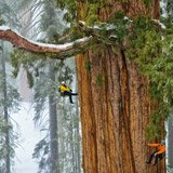 It's not quite the largest tree on Earth. It's the second largest.