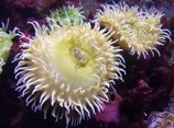 new insecticide and treatments from sea anemone toxin