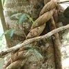 The Ayahuasca vine (Banisteriopsis caapi)