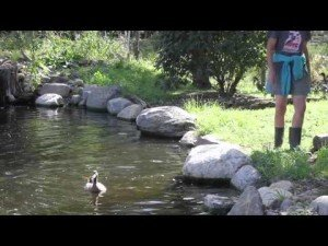 Neglected Ducks Get Their First Swim