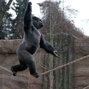 Kidogo the Gorilla Walks on a Tightrope - SPIEGEL ONLINE - International