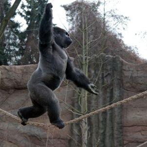 Kidogo the Gorilla Walks on a Tightrope - SPIEGEL ONLINE - International
