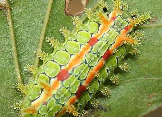 Stinging Caterpillars