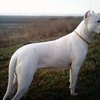 Dogo Argentino Information and Pictures, Dogos