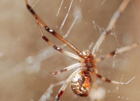 The Brown Widow Spider -- What You Need to Know