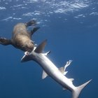 Seal that eats sharks documented off South Africa