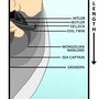 Beard Length Chart