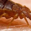 Lifestyle of Rich and Poor Bed Bugs | Rove Pest Control - Bed Bugs