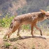 Kill a coyote in Utah and make $50 | ksl.com