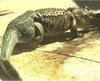 BBC News - 'World's first' alligator receives prosthetic tail