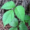 Identifying Poison Ivy and how to treat it with Jewelweed
