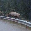 Guard Rail Elk Fight - YouTube
