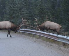 Guard Rail Elk Fight - YouTube