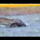 Mountain Lion Takes Down Mature 160 Class Mule Deer - YouTube