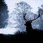 Deer | The Pipe Parlor