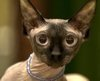 CBBC - International cat beauty contest held in Romania
