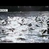 Jumping Asian Carp – Swarm – BBC | ClickExist