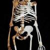 BBC News - Team reconstructs 'human ancestor'