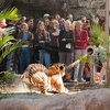 Tug of war with a Tiger.
