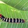 The Caterpillar Identification Blog