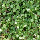 Edible Plant - Chickweed