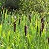 Wild Edibles - Cattails