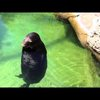 Silly, Spinning Hawaiian Monk Seal – Waikiki Aquarium