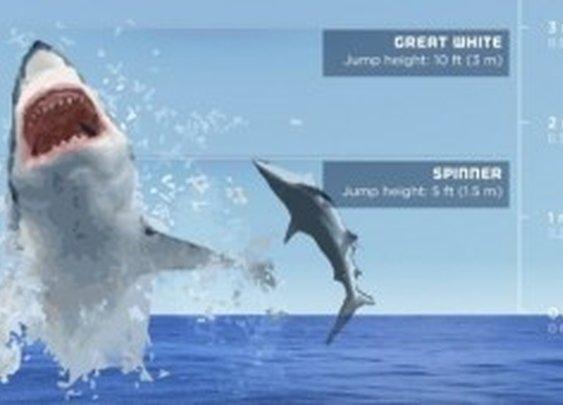 Infographic: Flying Sharks – The Highest Leaping Sharks