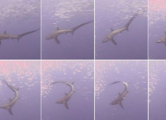BBC News - Thresher sharks stun prey with tail slaps