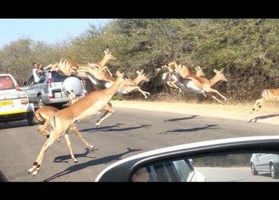 Cheetah Chases Impala Antelope Into Tourist's Car on Safari - YouTube