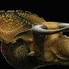 Huge-horned, big-nosed dinosaur fossil
