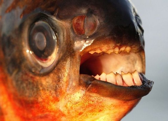 Testicle-biting fish invading Denmark, authorities warn | Fox News
