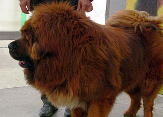 China zoo faces uproar after 'African lion' revealed to be a dog | The Verge