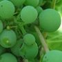 How to Make Verjus, or Verjuice | Hunter Angler Gardener Cook